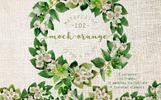 Mock-orange Flowers PNG Watercolor Set Illustration